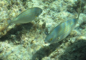 Salema (Sarpa salpa) 